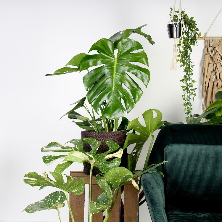 Monstera Deliciosa - Plant Rebelz