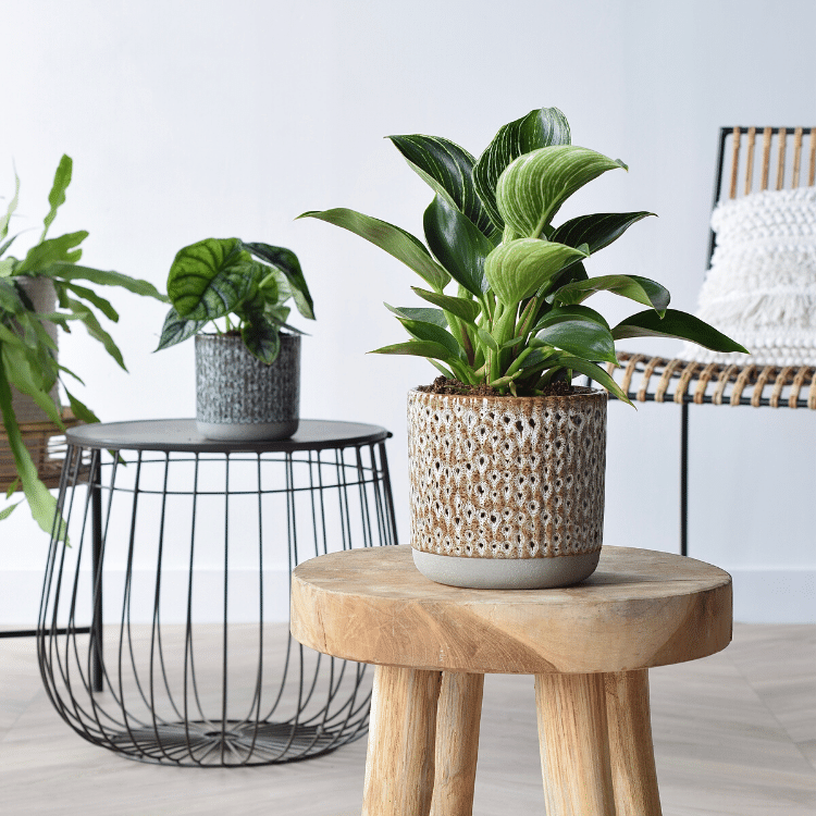 Philodendron (1)