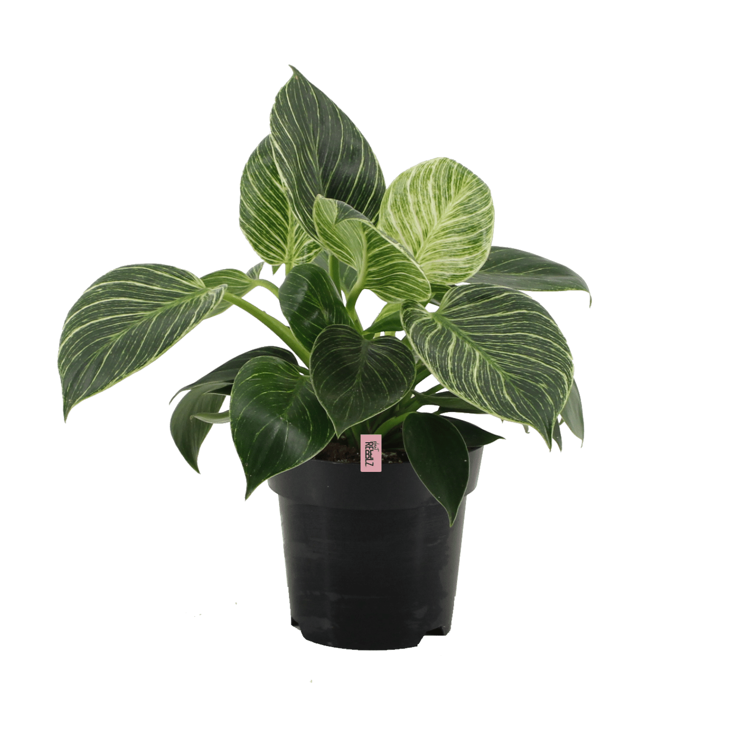 Philodendron (2)