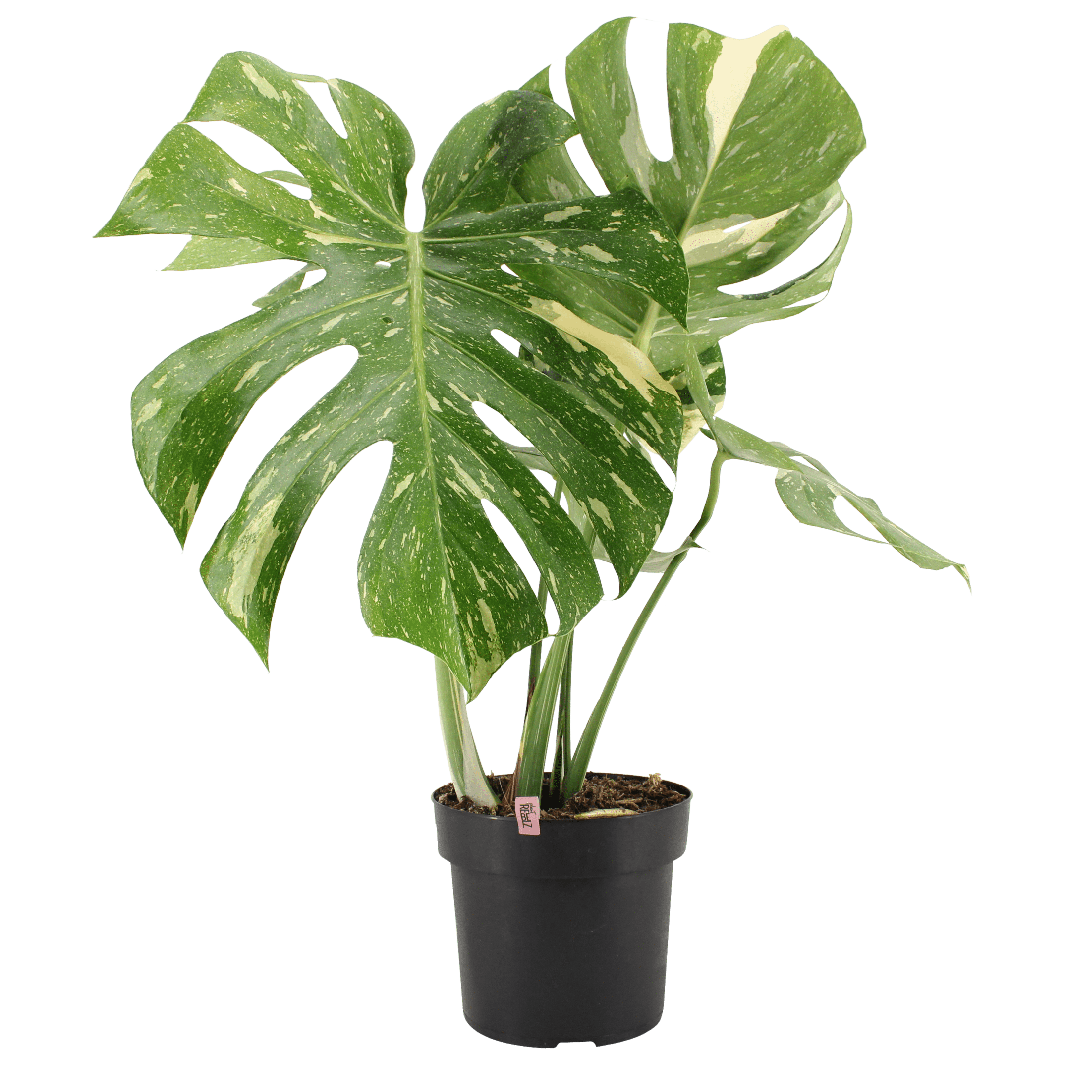 Bonte Monstera