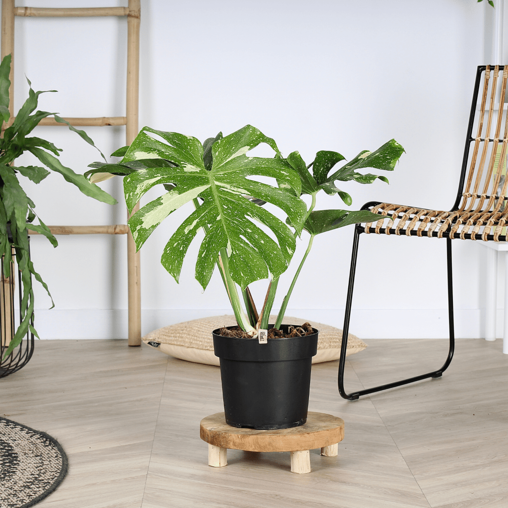 bonte-monstera-thai-constellation - Plant Rebelz