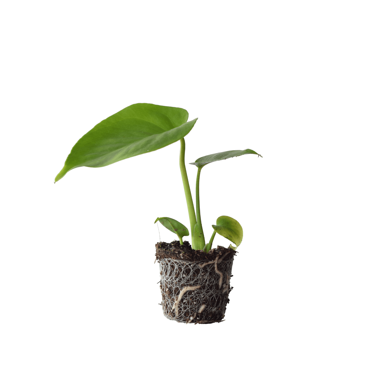 Monstera Deliciosa Stekje - Plant Rebelz (4)