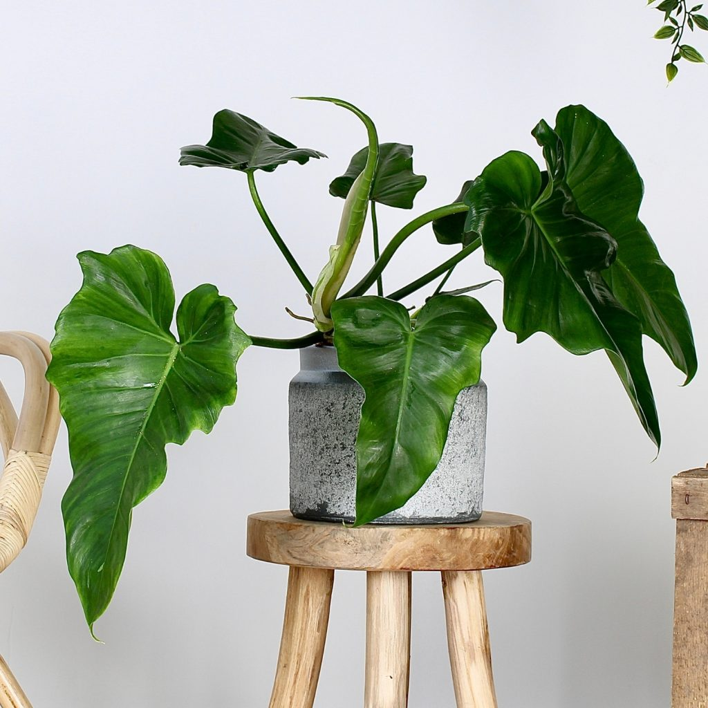 Alocasia Rainforest - Plant Rebelz