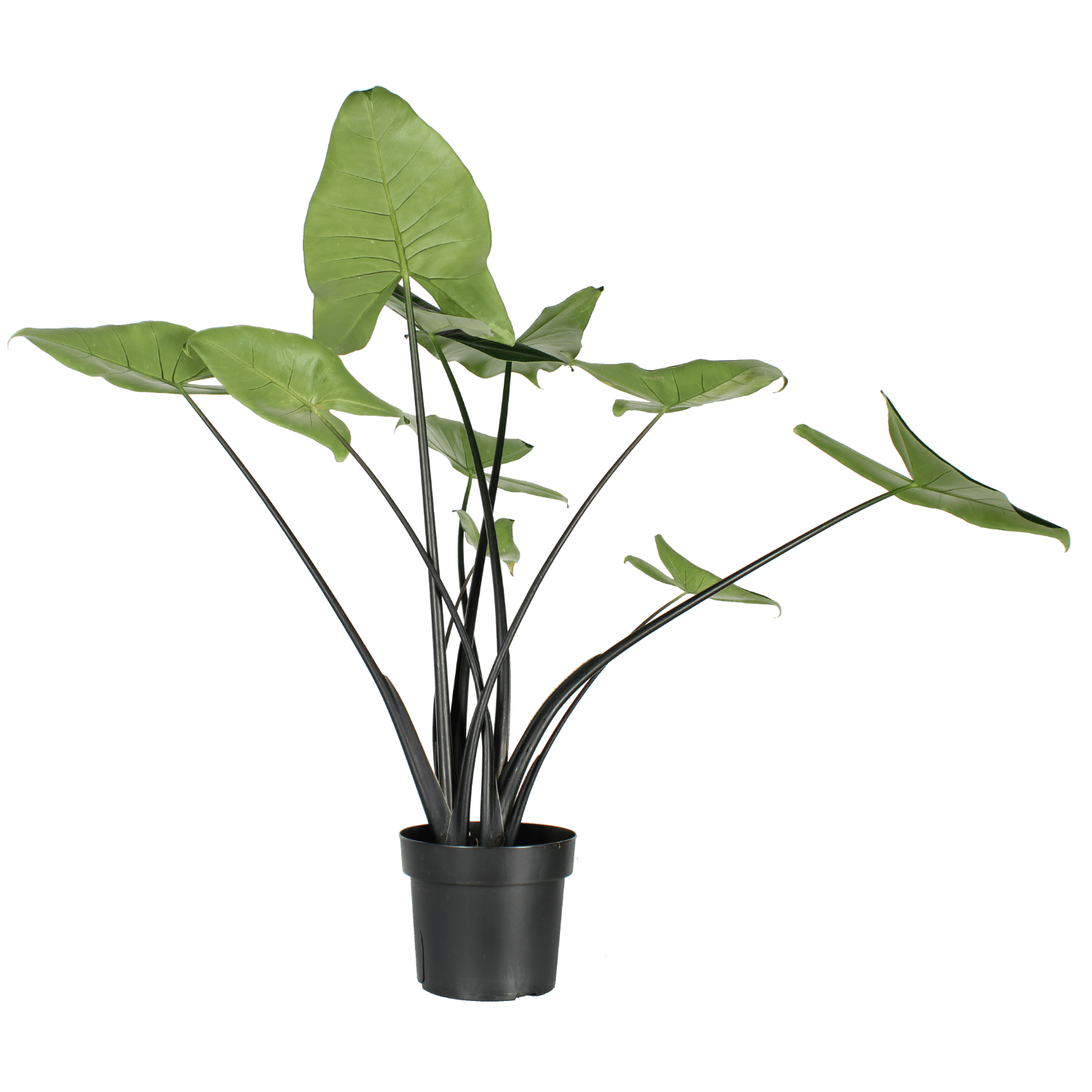 Alocasia Zebrina Black Stem - Variegated