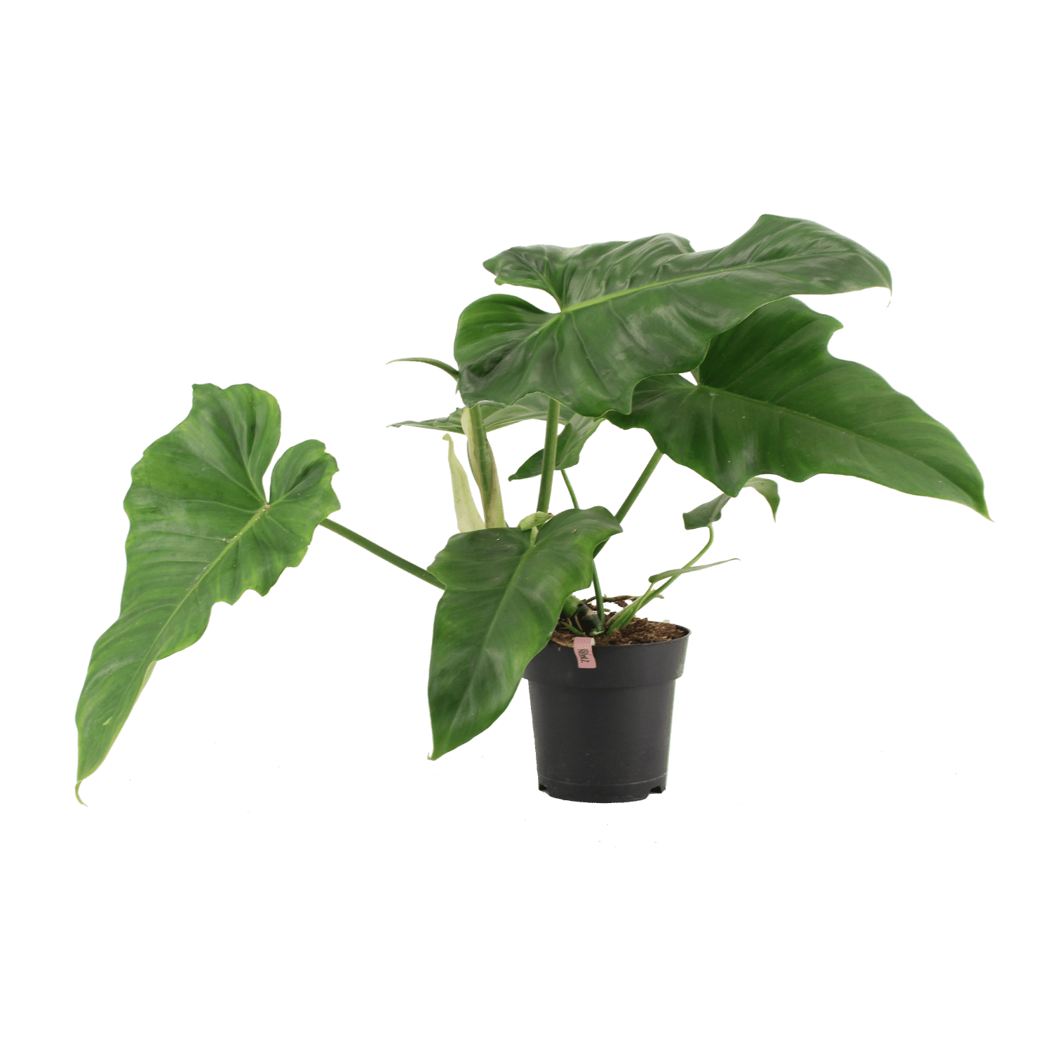 Philodendron Rainforest - Extreme Bushy - Plant Rebelz