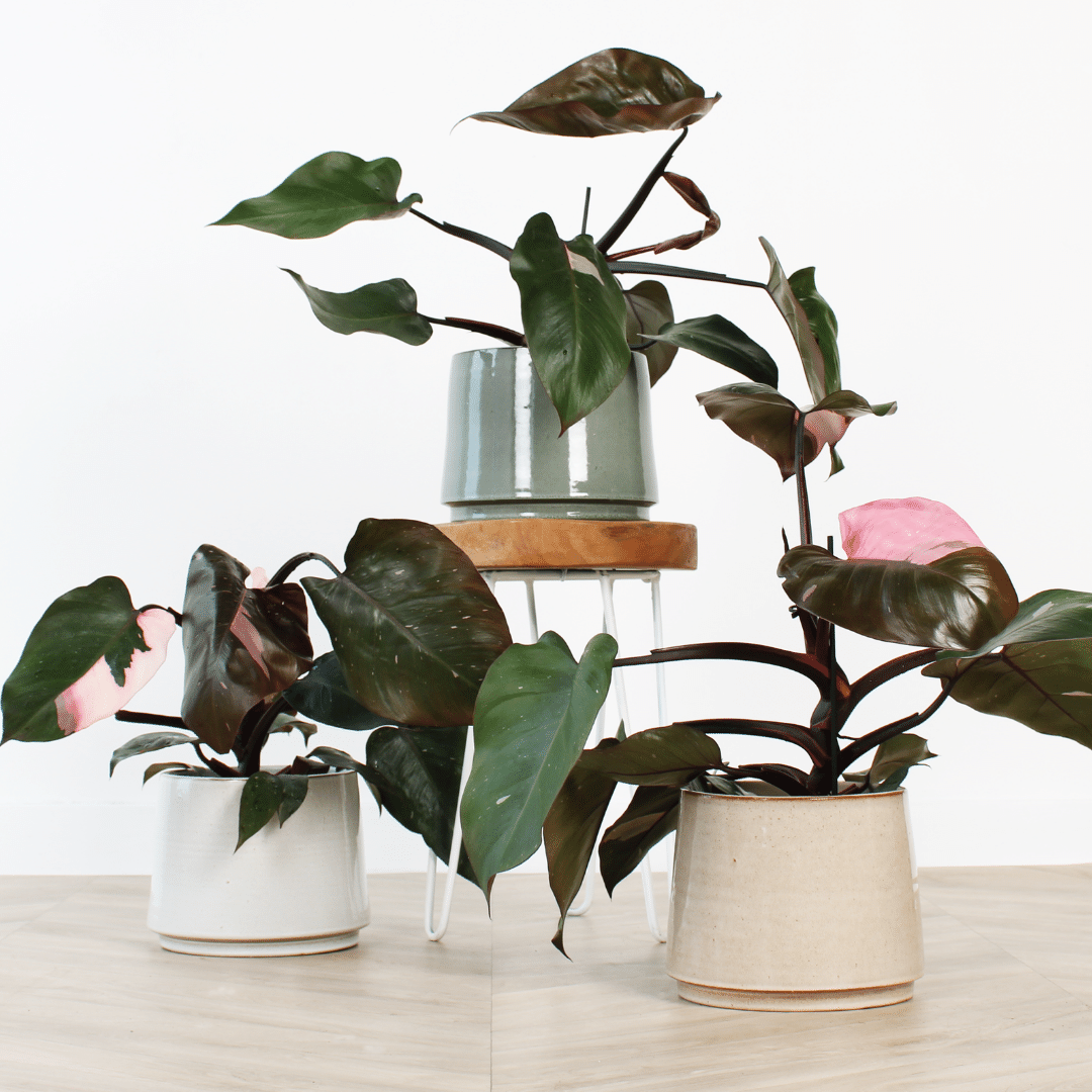 Philodendron Pink princess (1)