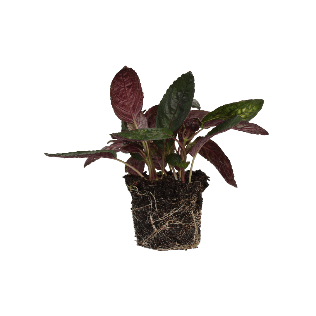 Hemigraphis Red Flame