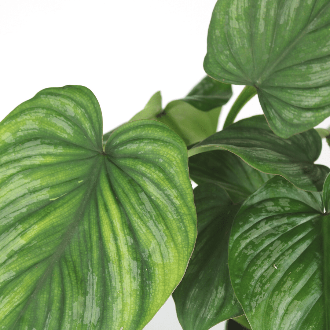 Philodendron Mamei detail