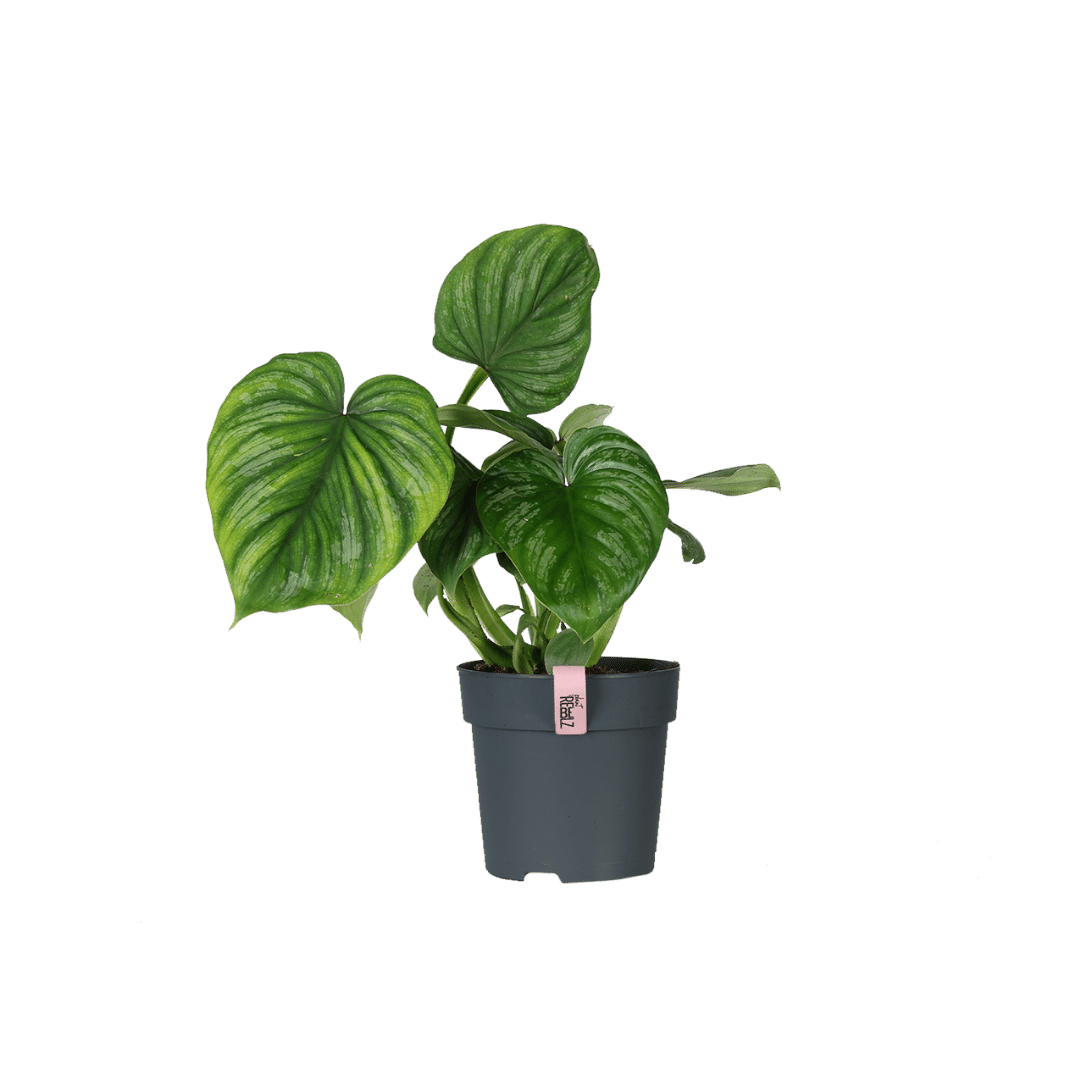 Philodendron Mamei product