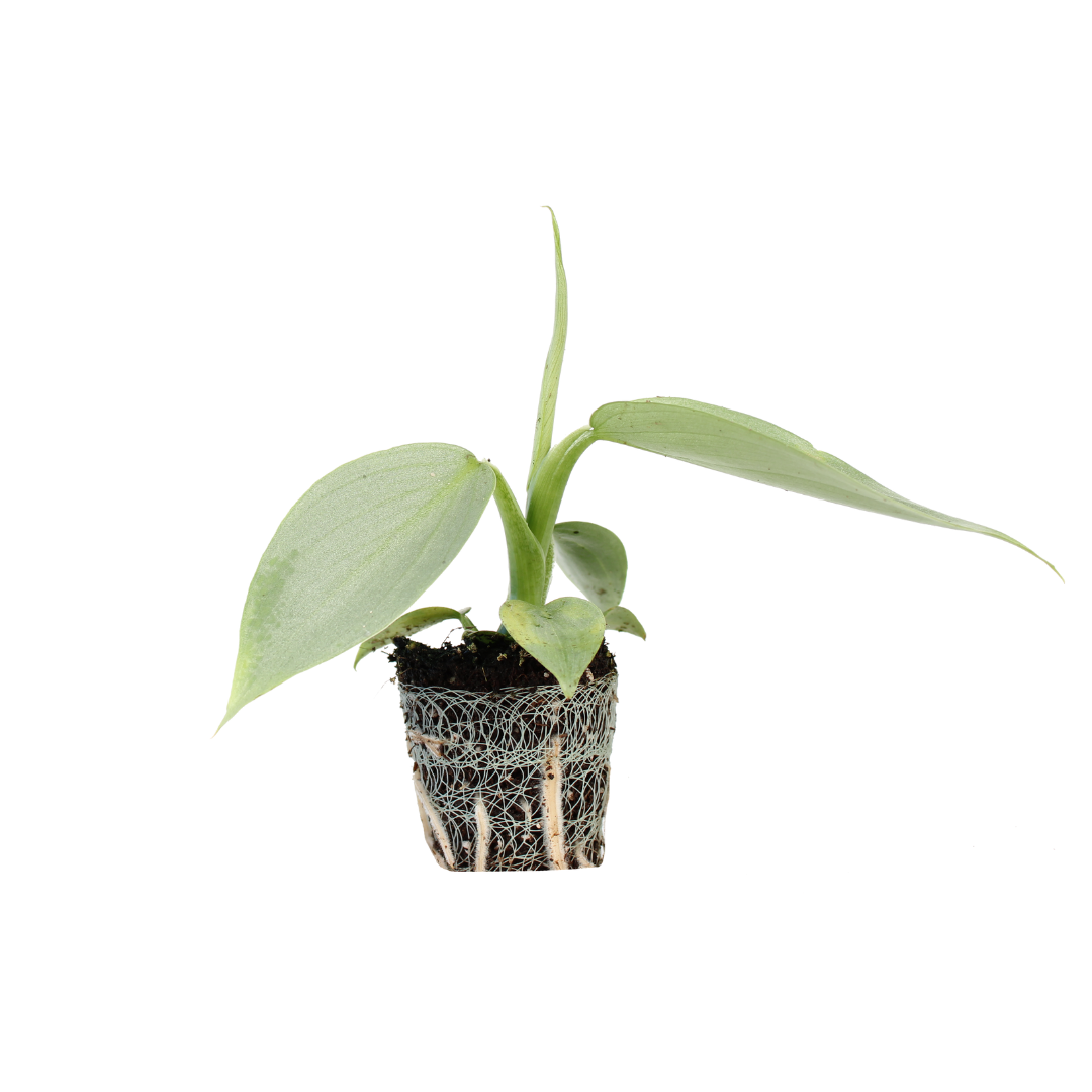 Philodendron Silver Sword (2)