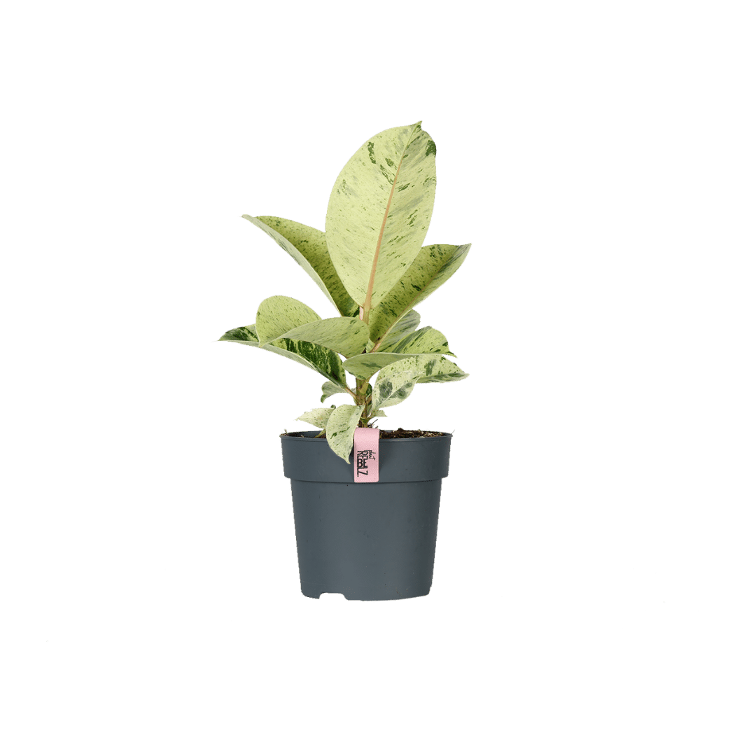 Ficus Moonshine product