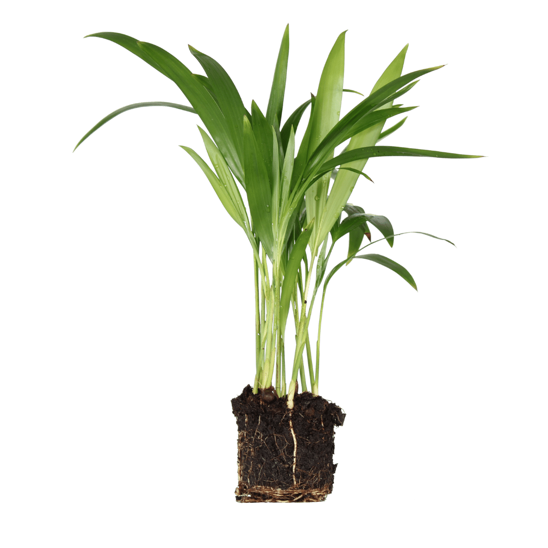 Areca Dypsis Lutescens Jr. Product