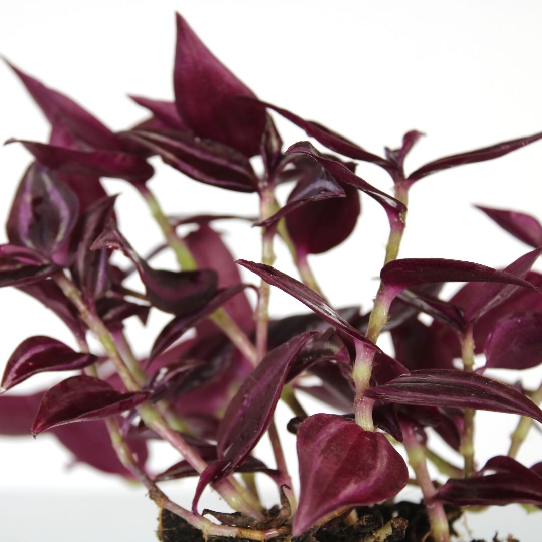 Tradescantia Jewel Red - product